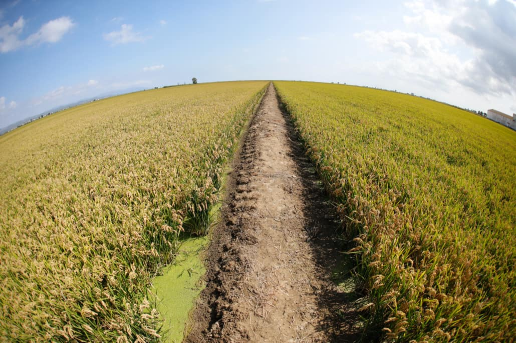 Camp d'arròs - Foto Albert Iniesta